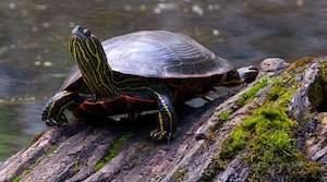 baby western painted turtle