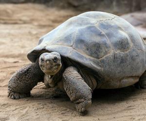 galapagos tortoise breeder