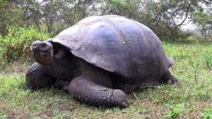 galapagos tortoise breeders