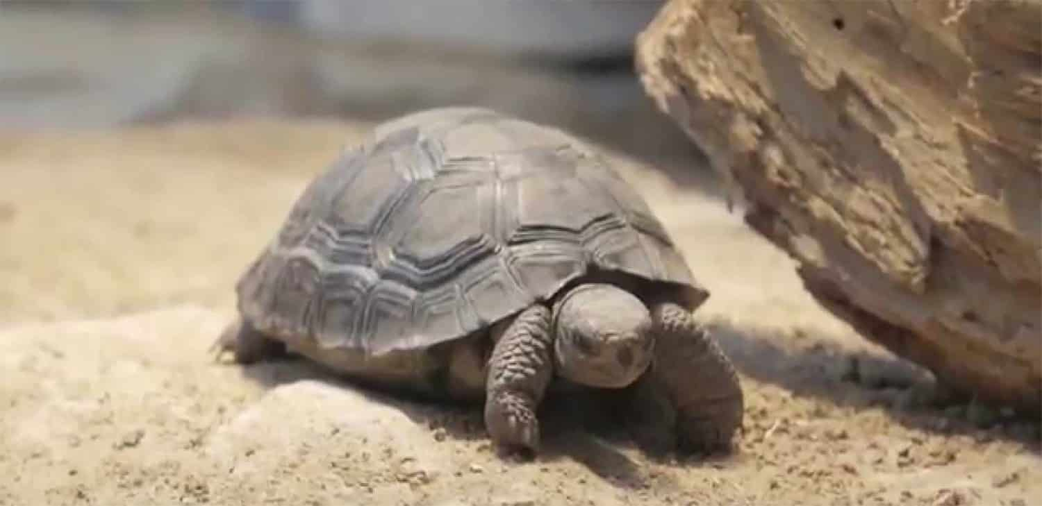 galapagos tortoise for sale
