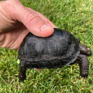 giant aldabra tortoise for sale