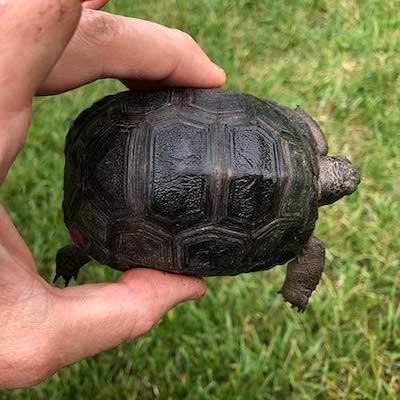 giant aldabra tortoises for sale