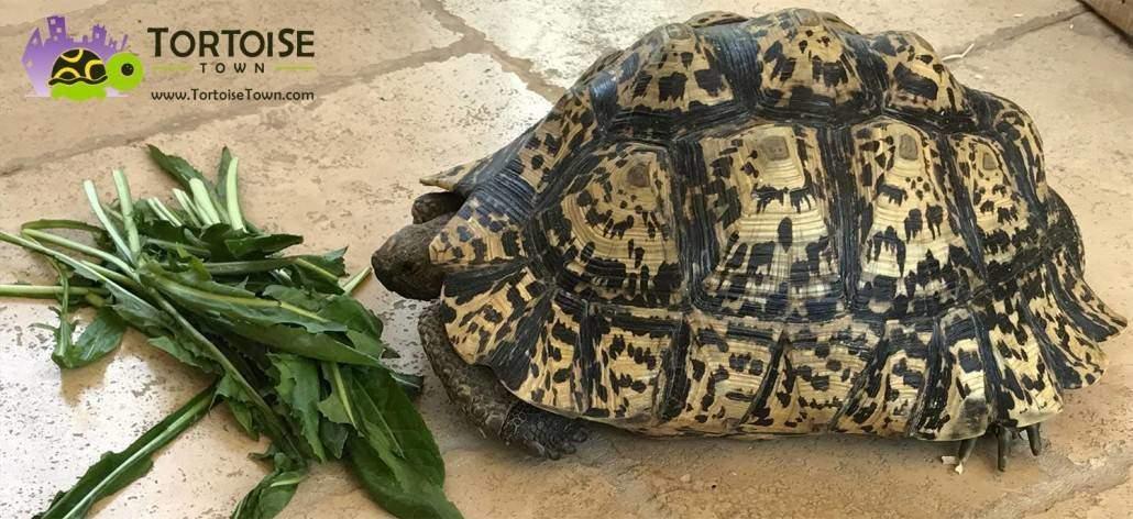 giant leopard tortoises