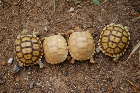 ivory sulcata tortoises