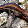 orange stripe gargoyle gecko