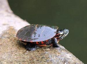 painted turtles for sale