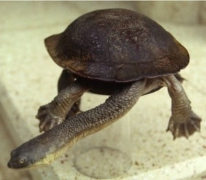 snake necked turtles for sale