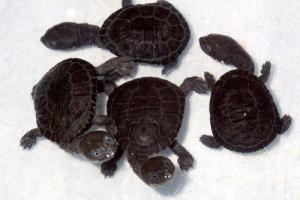 snakeneck turtle for sale