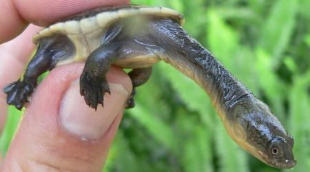 snake neck turtle for sale