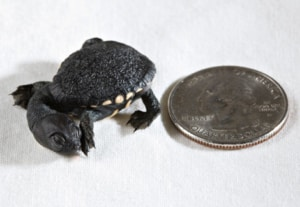 snakeneck turtles for sale