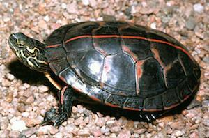 southern painted turtle for sale