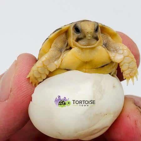 egyptian tortoise for sale