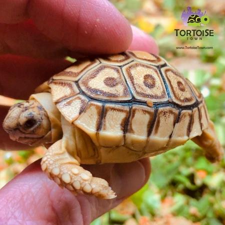 caramel leopard tortoise for sale