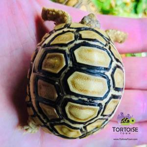ivory leopard tortoise