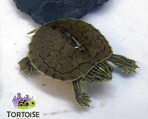 geographic map turtle for sale