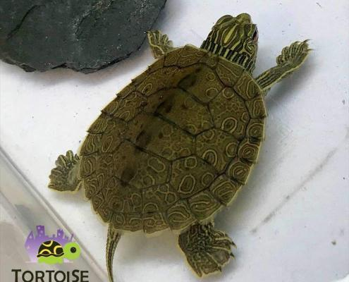map turtle for sale online
