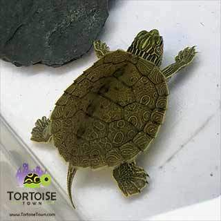 map turtles for sale