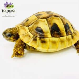 Hermann tortoise for sale