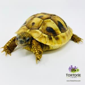 Eastern Hermanns tortoise
