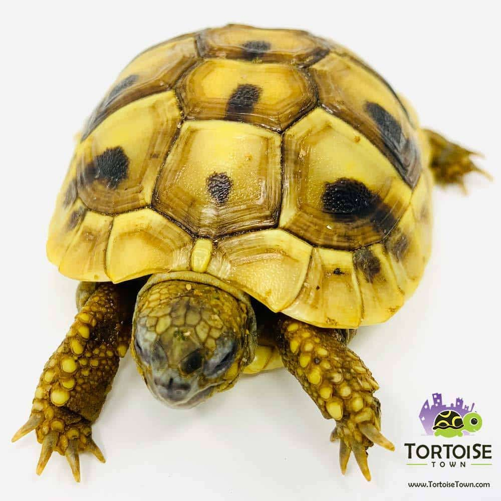 Testudo Hermanni for sale