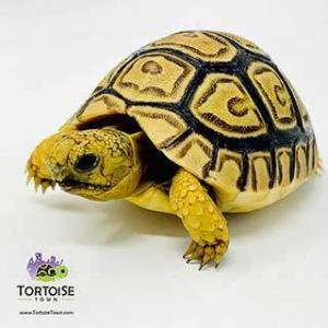 leopard tortoise sale