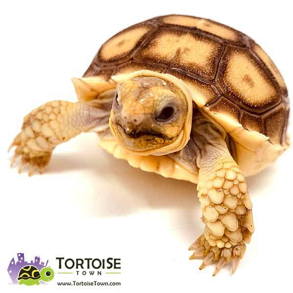 Spurred tortoise for sale