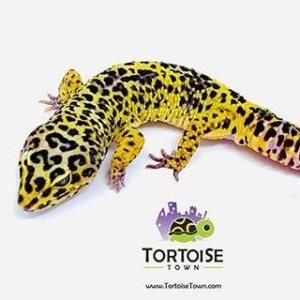 supergiant leopard geckos