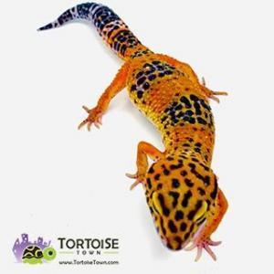 tangerine leopard geckos