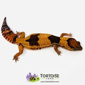 patterned fat tail geckos for sale