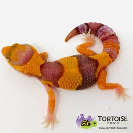 Tangerine fat tail gecko