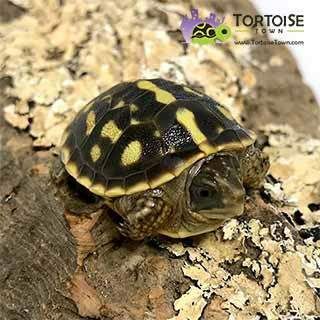 baby box turtle for sale