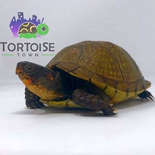 captive bred box turtle
