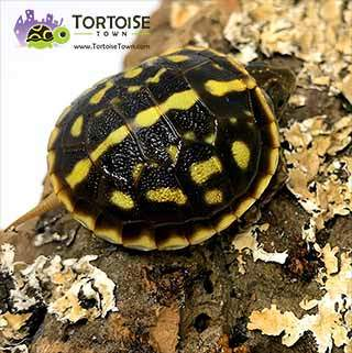 ornate box turtle for sale