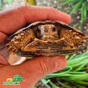 pancake tortoise forsale