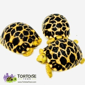 small species of tortoise for sale