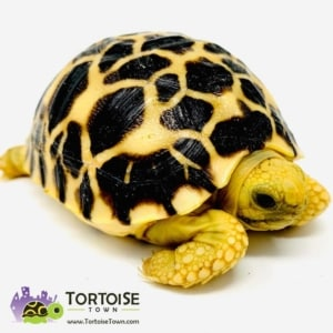 small tortoise species