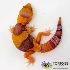 tangerine caramel fat tail gecko