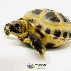 baby tortoise