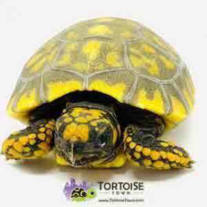 baby tortoise for sale cheap