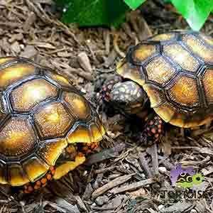 captive bred tortoise