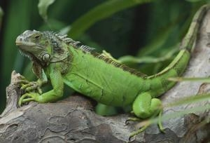 how to care for iguana