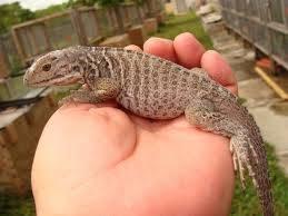 iguana care guide