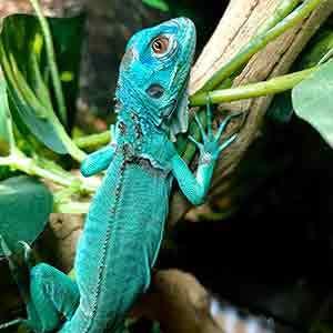 iguana care sheet
