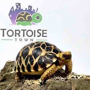 medium tortoises for sale