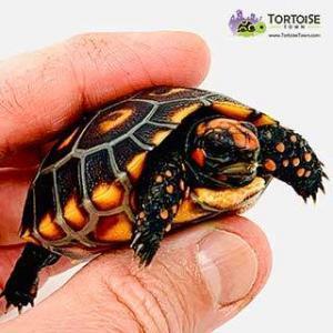 pet tortoise for sale