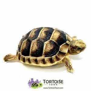 cheap tortoise