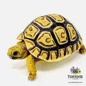 tortoise hatchlings for sale