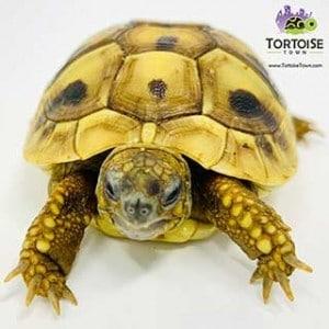 Hermann's tortoises for sale