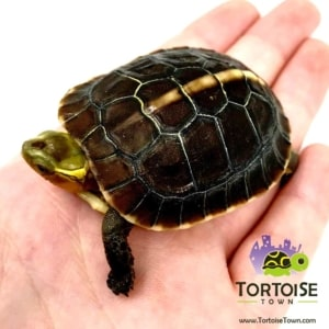 box turtle UVB light