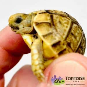Egyptian tortoise diet